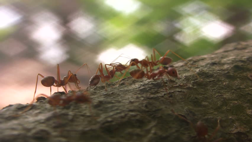 Ants - HD stock video clip