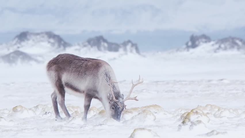 Wild reindeer in snow blizzard - it is a tough time for wild animals in the Arctic.