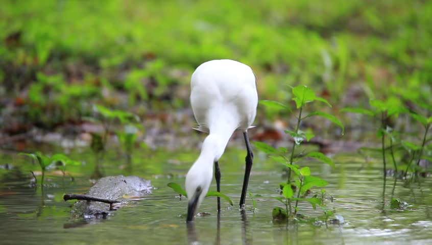 Egret Bird in a Park in Thailand - HD stock footage clip
