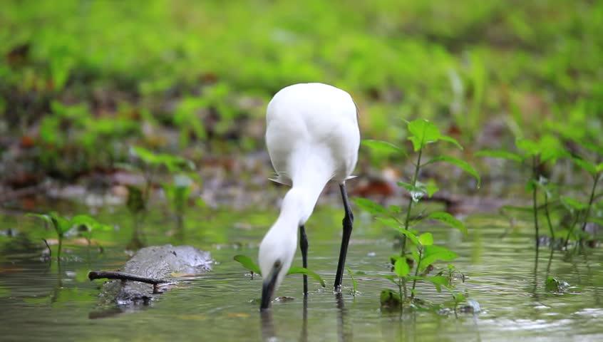 Egret Bird in a Park in Thailand - HD stock video clip