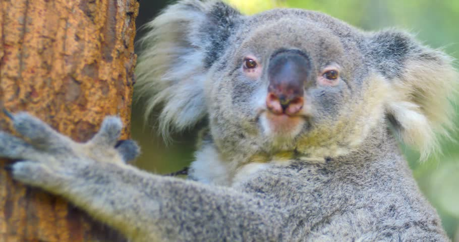 Koala Bear wild Australian animal 4k video