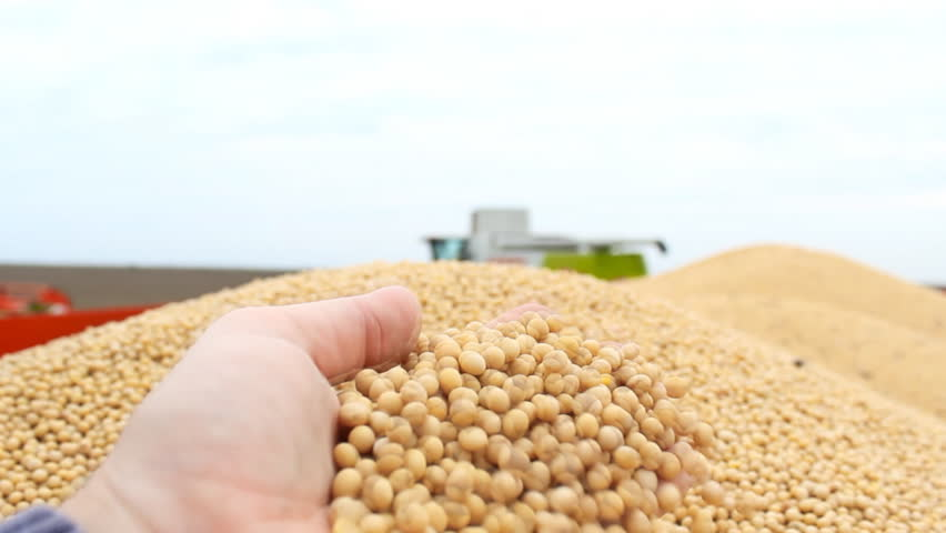 soybeans in hand,fresh soya bean after harvest ,combine tractor harvesting in background 1920x1080 full hd footage