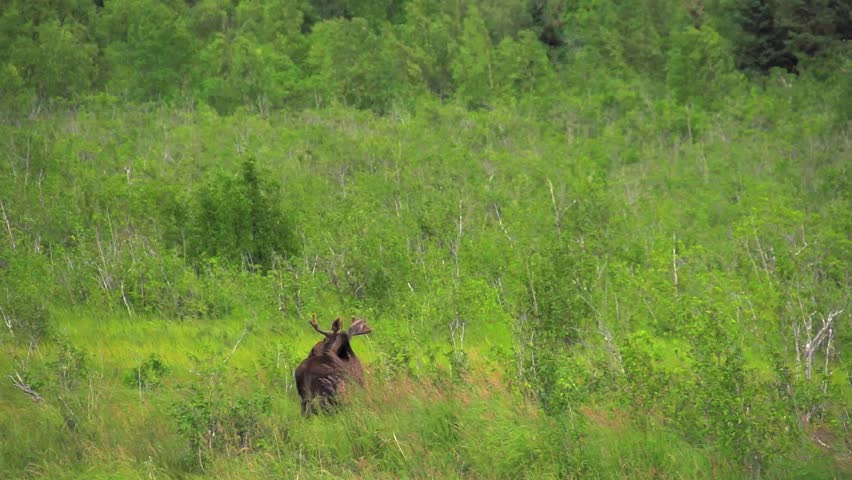 Header of Alaskan Moose
