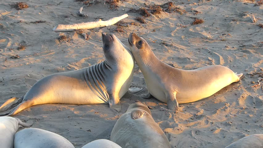 Wild Elephant Seals battle for dominance on the beach at the San Simeon Elephant Seal Rookery on the Central Coast of California, USA.