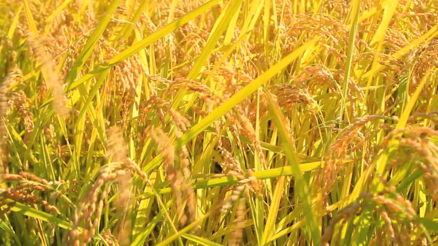 Rice paddies with rice stalks swaying in the wind.