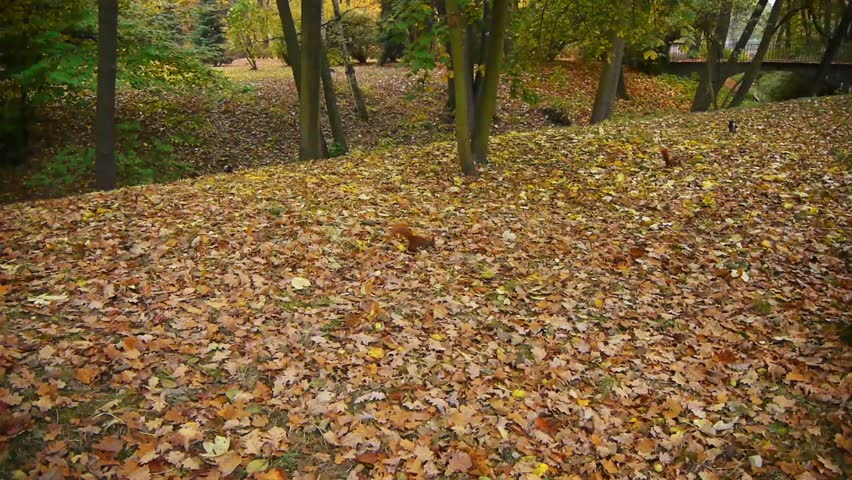 Squirrels playing on a leaves in autumn park