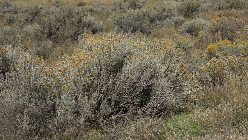 Sage Brush In Wind Mountain Valley. Plant That Cases A Lot Of Seasonal ...
