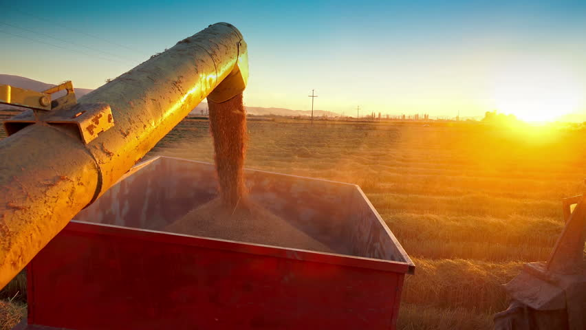Harvester transfer harvest in tractor container. corn, rice, rye harvest on farmland at sunset. Sony 4K shoot