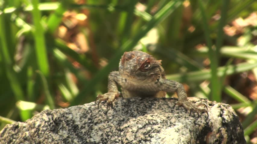 Comical spiny lizard tilts his head, rubs it against rock, performs reptile push-ups.  - HD stock video clip