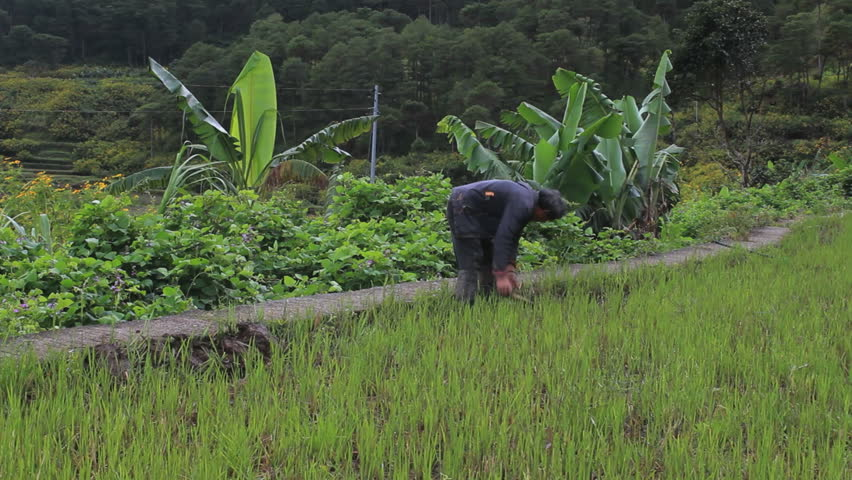Farmer working at a rice field