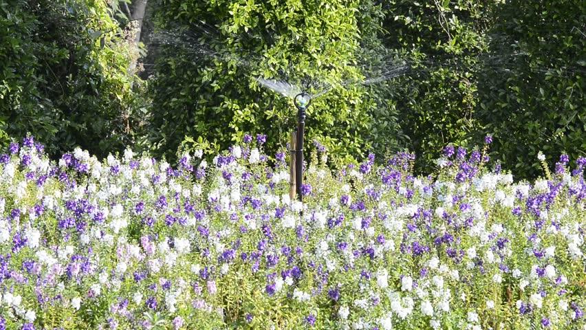 Watering flowers with Springer in garden.