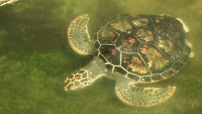 Turtle Swimming In Pool In Conservation Area In Phang Nga South Of Thailand Stock Footage Video