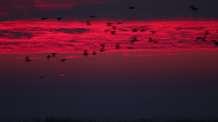 Flying flock of geese at sunrise red sky. White-fronted and Red-breasted Geese flying over a lake in the morning at amazing sunrise, large zoom shot at sun.