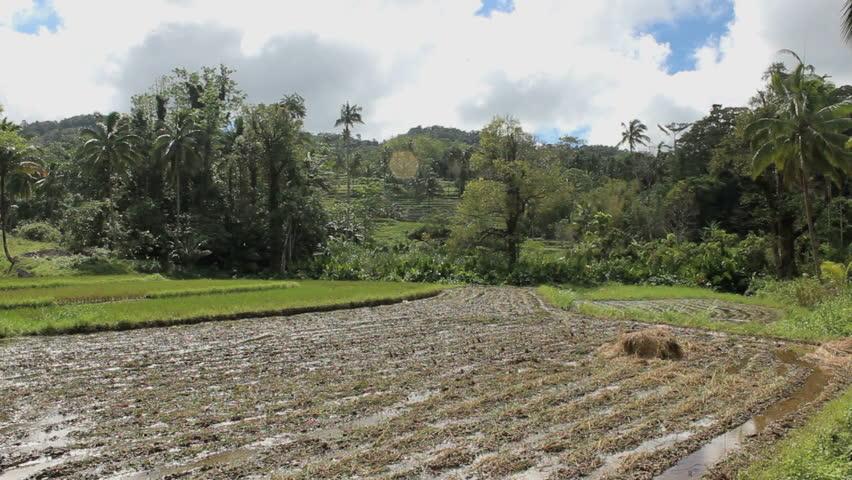 Rice fields in beautiful jungle