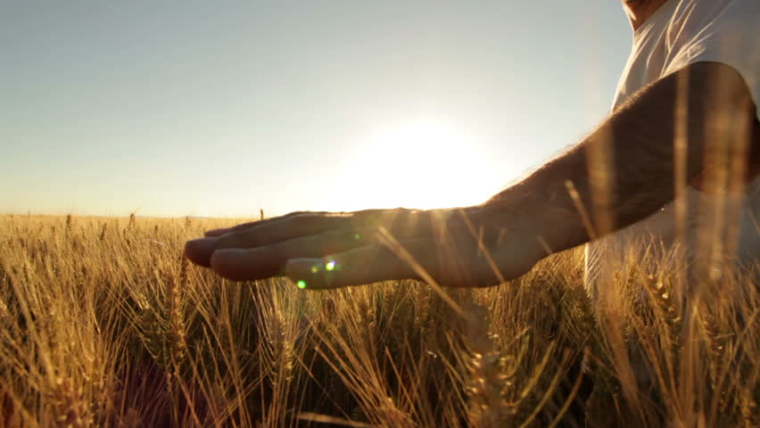 hands of farmer in wheat field gently touching wheat ears  - HD stock footage clip