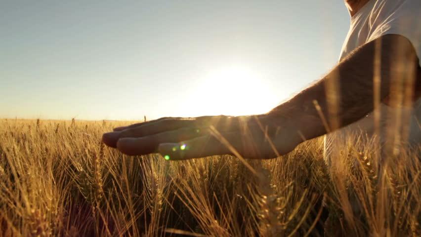 hands of farmer in wheat field gently touching wheat ears