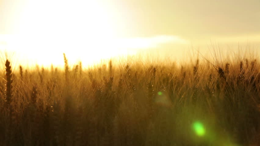 crane shot close over wheat ears in dry field at afternoon sun