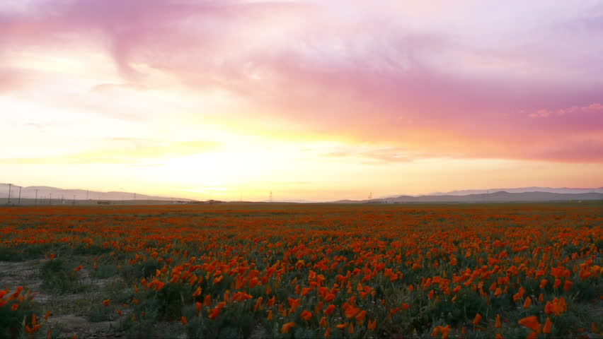 4K Time lapse footage with tilt up motion of wild flower at full bloom with after glow in California Poppy Reserve in Antelope Valley