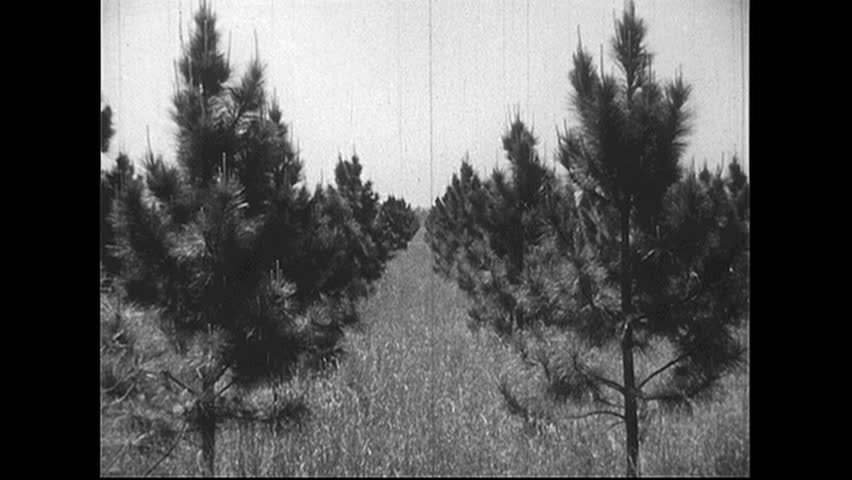 UNITED STATES 1940s: Tracking shot of rows of trees. - HD stock video clip