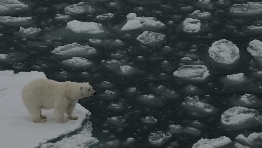 Polar bear moving on ice floes of the polar pack, walking an jumping. Spitzberg. Close view.