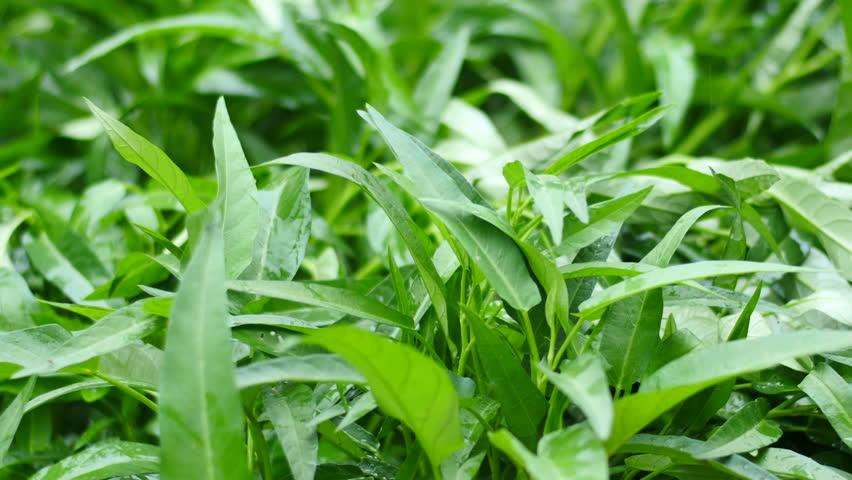 4k plantation and watering morning glory vegetable crop organic food
