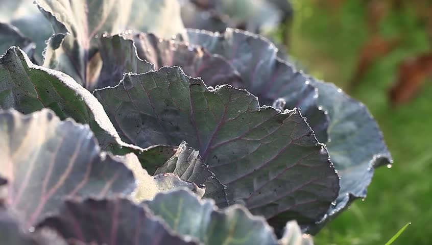 purple cabbage in the organic garden