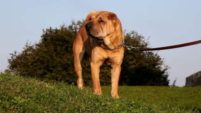 sharpei dog - HD stock footage clip