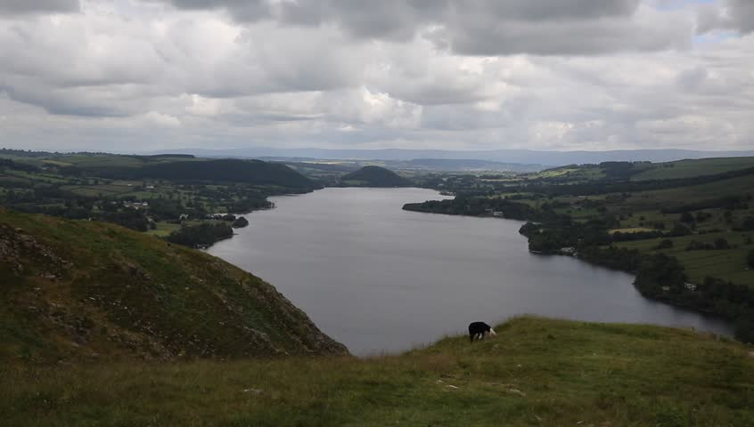 Black and white sheep and elevated view of Ullswater Lake District Cumbria England UK with mountains on windy summer day - HD stock footage clip