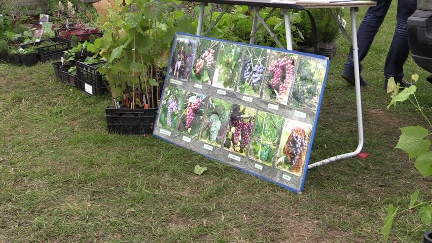KAIRENAI, LITHUANIA - SEPTEMBER 19, 2014: trade berry, garden decorative plant, sapling, shrub at annual fair on September 19, 2014 in Kairenai, Lithuania. Sliding Shot on Canon XA25. Full HD 1080p.