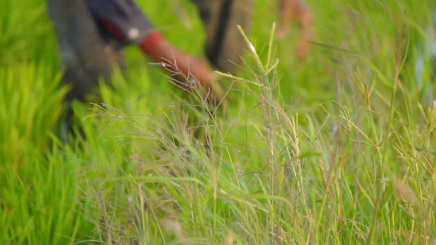 Farmer weeding the paddy field, soft focus.