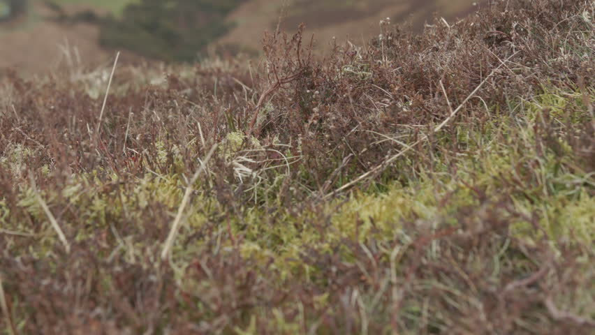 Moor Land Heather HD Stock Footage. Heather blowing in the wind on a bleak Yorkshire Moor. Filmed on the BMD Cinema Camera. ProRes 422.