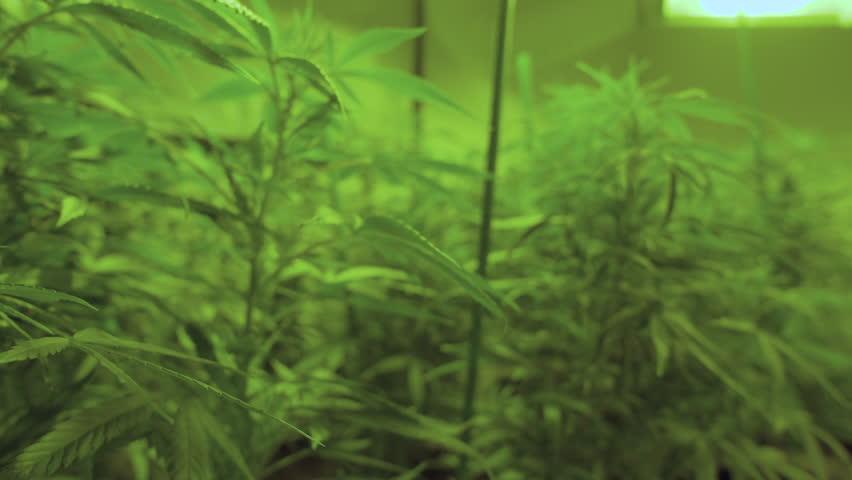 Pull focus on marijuana plants