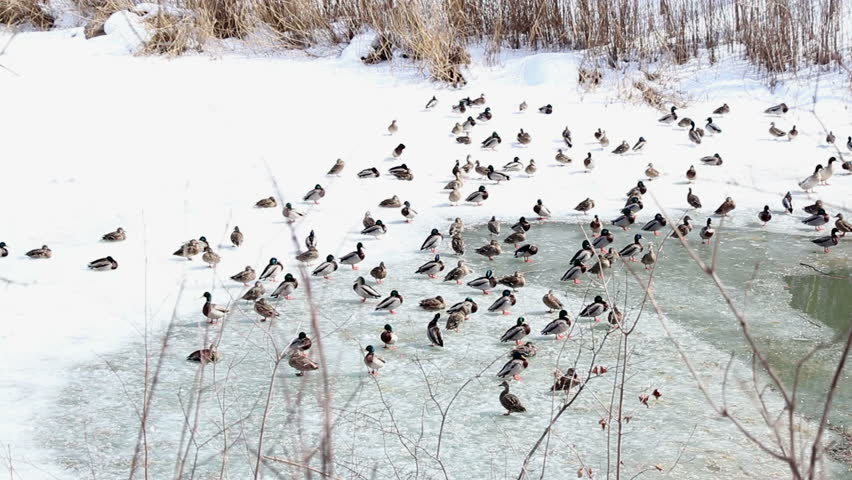 Canadian Ducks in Winter - Smooth Tracking Shot - HD stock video clip