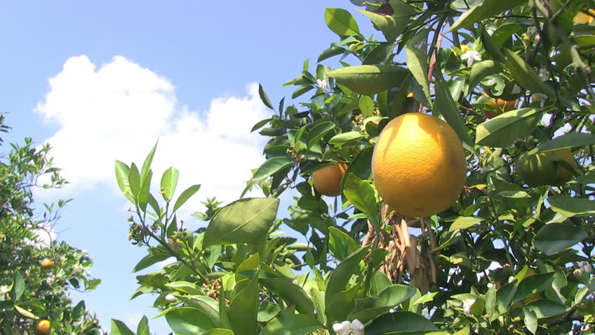 Hand picks orange from an orange tree in Central Florida