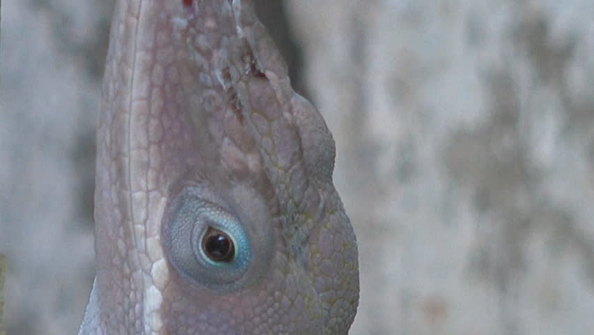 Close up of the eye of a lizzard,chameleon eye macro moving slowly watchful of camera person,Cuban chameleon or Cuban Knight Anole, 4k stock footage