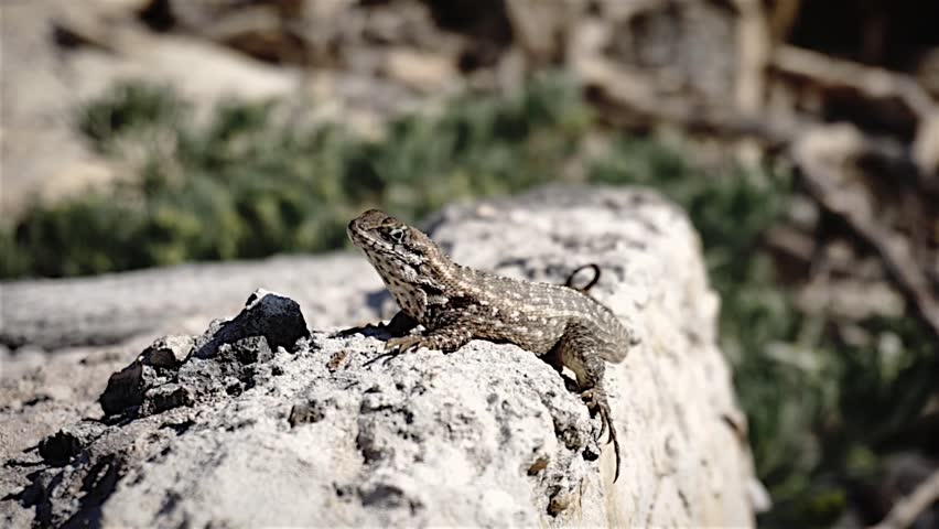 lizard on a rock close up - HD stock footage clip