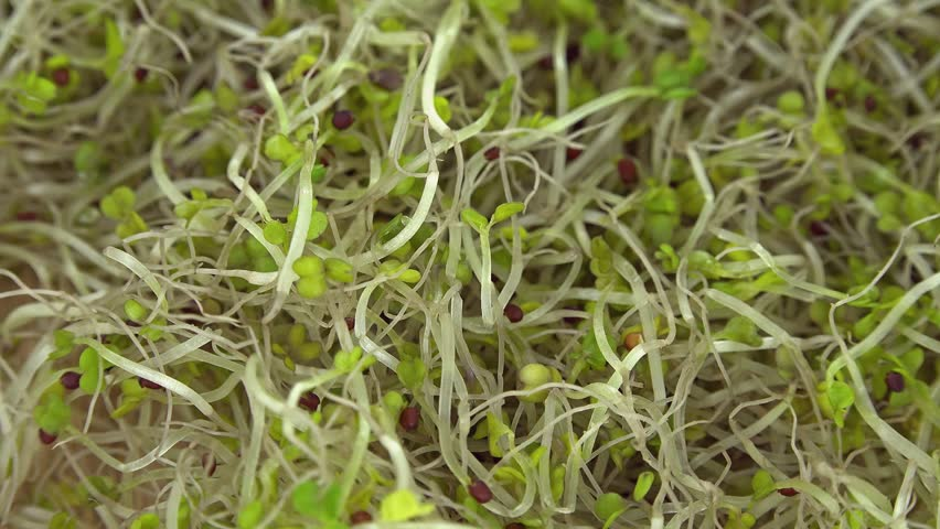 Heap of Broccoli Sprouts (not loopable)