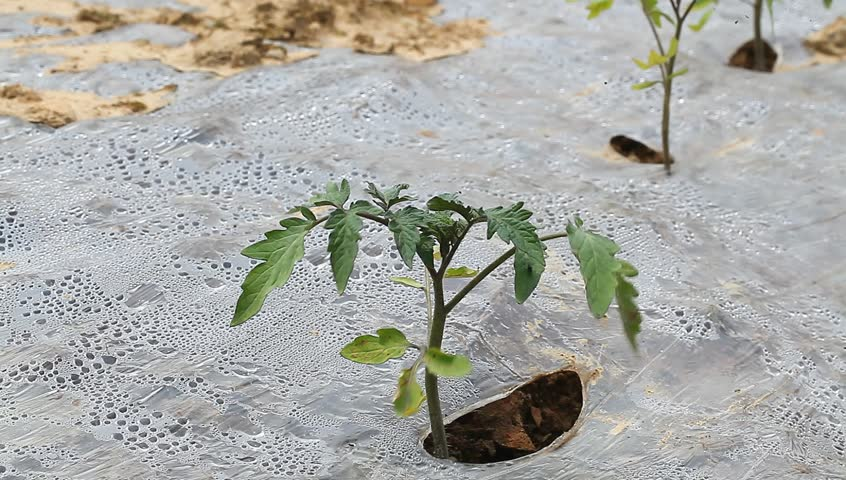tomato sapling in the field in spring