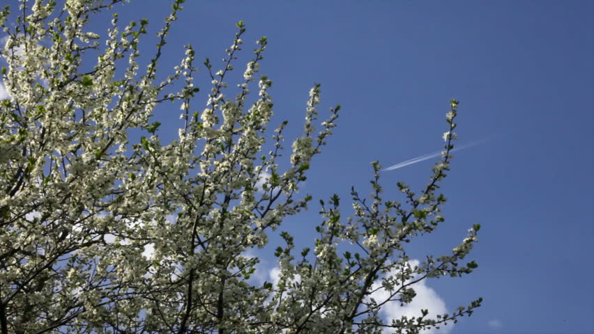 Adorable cherry branches with amazing white blossom and young green tiny leaves, slack waving on light wind on blue sky background with flying plane. Wonderful revival of nature in beautiful HD clip. - HD stock video clip