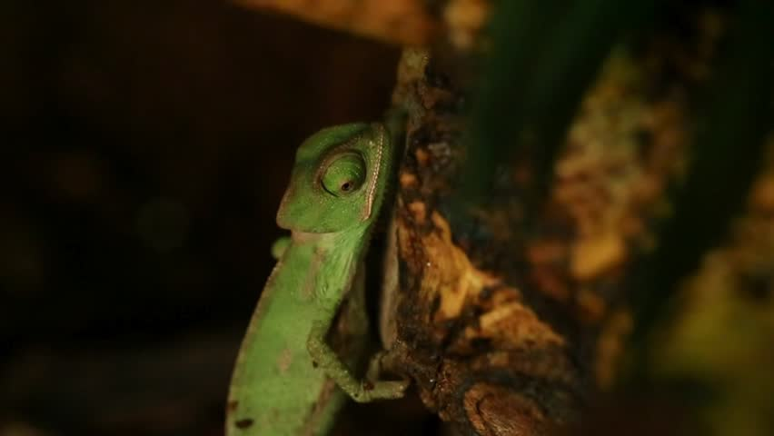 baby green chameleon - HD stock video clip