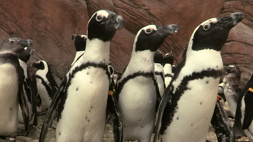 African Penguins - HD stock footage clip