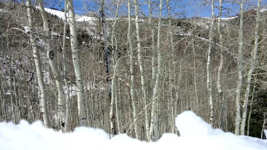 Park City, Utah - April, 2015 - Row of birch trees in the snow.