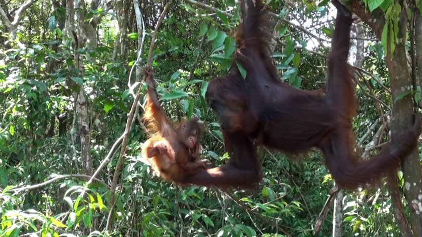 Smiling Orangutan baby is playing with its mother in Borneo. Amazing footage! - HD stock video clip