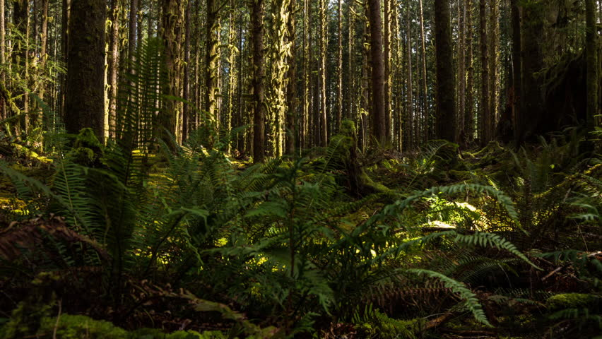 Time lapse dolly shot in the forest - Hoh Rain Forest in Olympic National Park, Washington State, USA