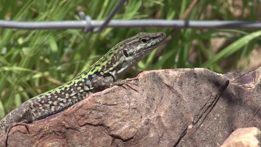 lizard on rock - HD stock video clip